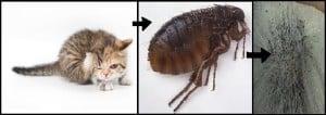 Bahaya Kucing Untuk Ibu Hamil, bahaya kucing untuk ibu mengandung, bahaya toksoplasma, dampak toksoplasma, efek kucing untuk ibu hamil, dampak kucing untuk ibu hamil