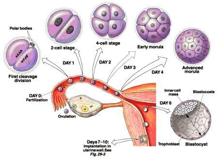 proses pembuahan sel telur proses pembuahan sel telur wanita proses pembuahan sel telur oleh sel sperma hingga menjadi zigot proses pembuahan sel telur oleh sperma disebut proses pembuahan sel telur manusia proses pembuahan sel telur berapa hari proses pembuahan sel telur sperma proses pembuahan sel telur oleh sperma pada manusia proses pembuahan sel telur oleh sel sperma (fertilisasi)