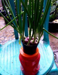 cara menanam daun bawang hidroponik menggunakan botol bekas