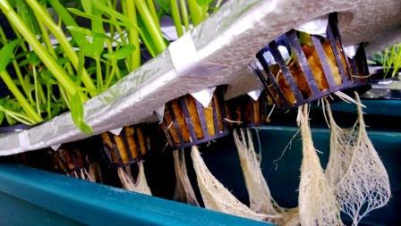 cara menanam hidroponik dengan media spons rockwool