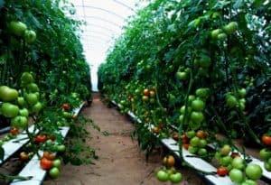 cara menanam tomat hidroponik 2 | HamilPlus.Com 2021