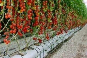 cara menanam tomat hidroponik siap panen