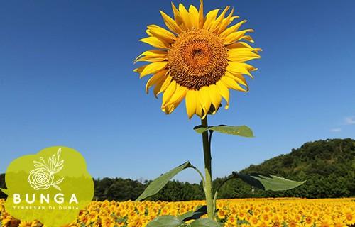 Bunga Terbesar Di Dunia