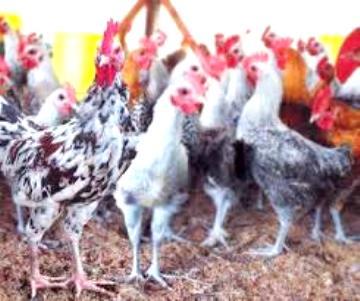 peluang usaha di bidang peternakan, bisnis dibidang peternakan, tips berbisnis di bidang peternakan,