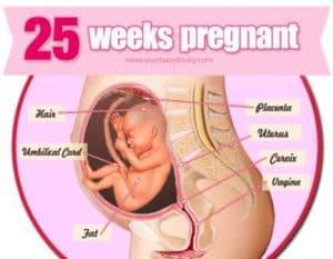 hamil 25 minggu