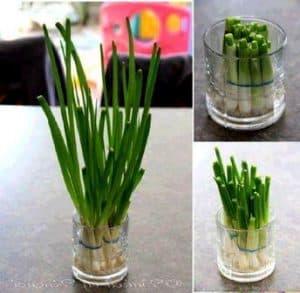 cara menanam daun bawang hidroponik sederhana