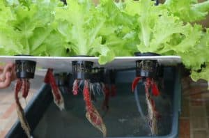 cara menanam selada hidroponik sederhana