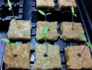 cara menanam tomat hidroponik semai bibit