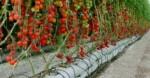 Cara Menanam Tomat Hidroponik agar Hasilnya Bagus