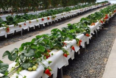 Jenis dari tanaman hidroponik buah