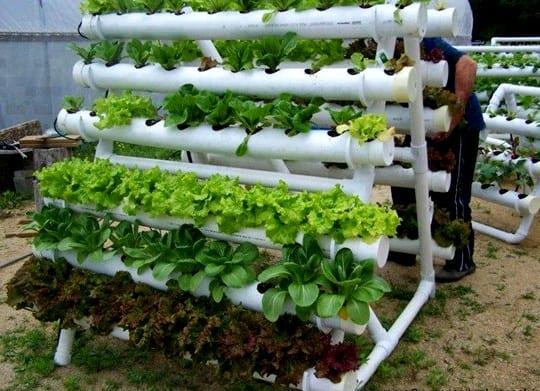 Jenis dari tanaman hidroponik sayur