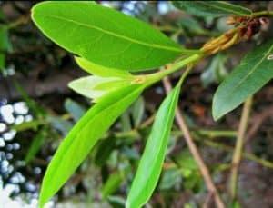 efek samping daun salam efek samping daun salam