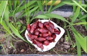 efek samping bawang dayak manfaat bawang dayak