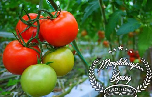 Cara Menghilangkan Bopeng Bekas Jerawat dengan Tomat