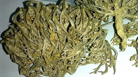 manfaat rumput fatimah khasiat kegunaan dampak efek samping