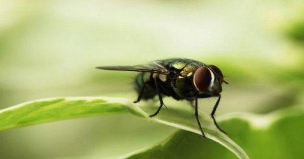 cara mengusir lalat di rumah