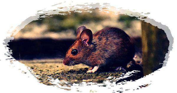 cara mengusir tikus yang merajalela
